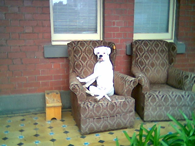 A boxer on a chair